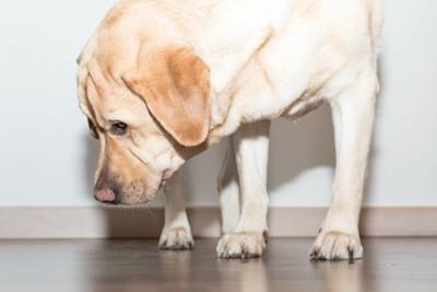 床を見る犬