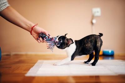 おもちゃを咬んで引っ張る犬