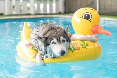 アヒルの浮き輪にしがみついてこちらを見つめている犬