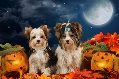 ハロウィンかぼちゃと犬