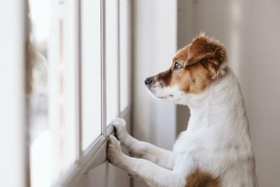 立ち上がって窓の外を寂しそうに見つめる犬