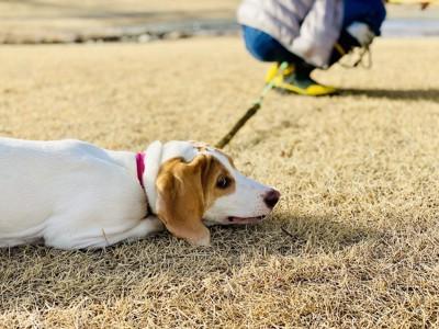 散歩中に座り込んで動かない犬