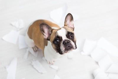 白い紙をちぎって遊んだ犬