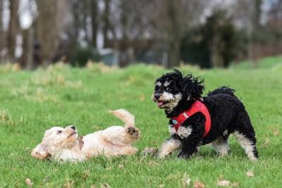 黒い犬と転倒する犬