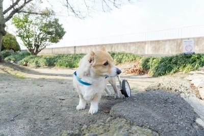 ;車椅子でお散歩するコーギー