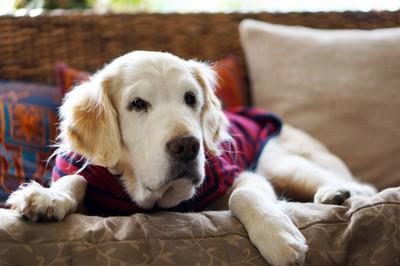 服を着ている老犬のゴールデンレトリバー