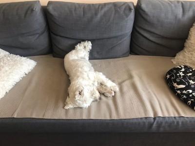 ソファの上で眠る白い犬