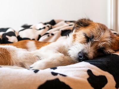 カウ柄のベッドで眠る犬