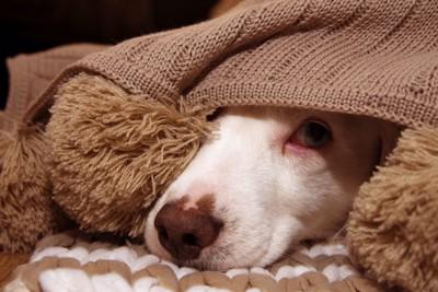 ブランケットの下から顔だけを出す犬