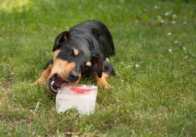 氷を食べる犬