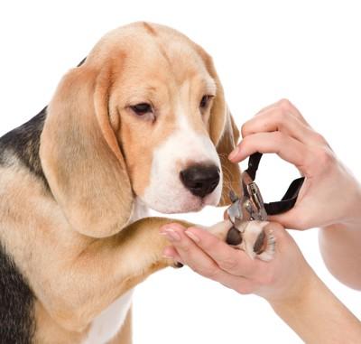 爪を切るビーグル犬 59651365