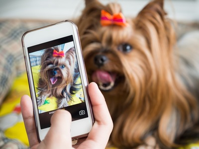 スマートフォンで写真を撮られているヨークシャテリア