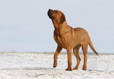 雪原を歩く土佐闘犬