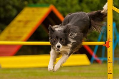 障害を跳び越える犬