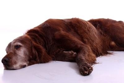 ː横たわる茶色の大型犬