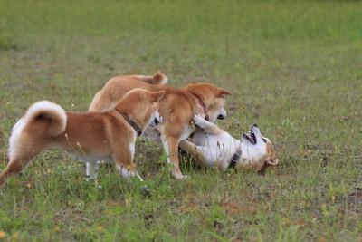 じゃれ合う三頭の柴犬