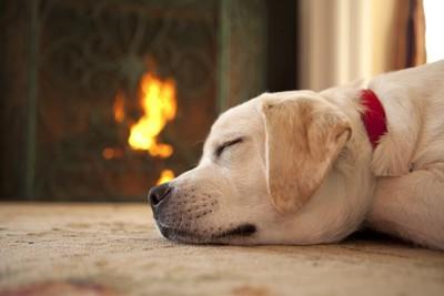 赤い首輪をつけて寝ている犬