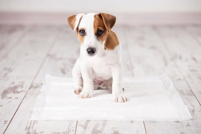 トイレシーツの上に座る子犬
