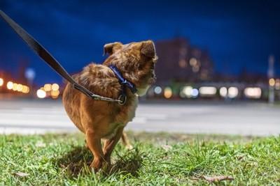 夜の街を散歩する犬