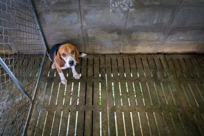 檻の隅に座っているビーグル犬