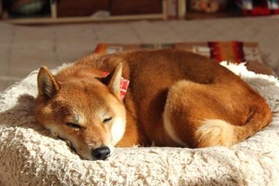 丸くなって寝ている柴犬