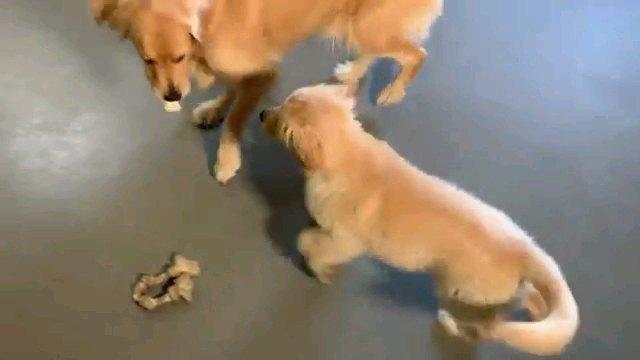 親の食べるガムを狙う子犬