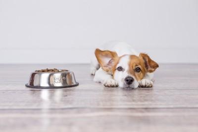 食器の横で伏せる犬