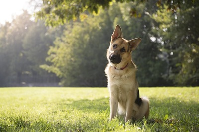 首をかしげて芝生に座る犬