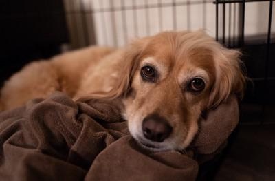 ケージの中で落ち着く犬