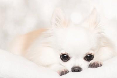 フセをする白い犬