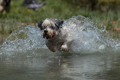 川を走るポーリッシュローランドシープドッグ