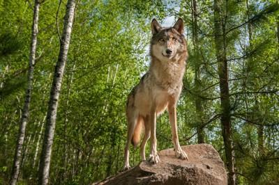 岩の上に立つハイイロオオカミ