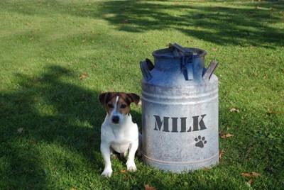 ジャックラッセルとミルク缶