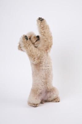 ちょうだいをする犬