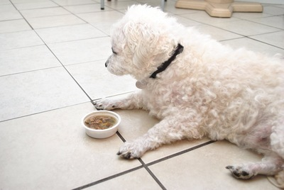 ごはんを食べない白い犬