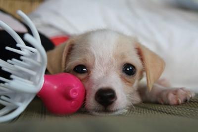 小型犬とピンクのおもちゃ