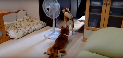 扇風機の前の2匹(立つひかりちゃん)