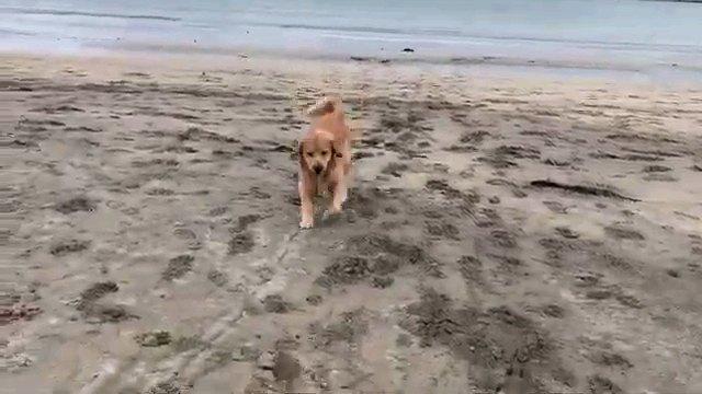 コチラに来る犬