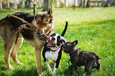 枝をくわえて遊ぶ三頭の犬