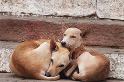 丸まって寄り添う2匹の野良犬