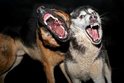 牙をむく2匹の犬