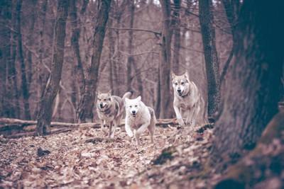 森の中を走る3匹の犬