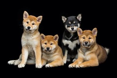 寄り添う4匹の柴犬の子犬