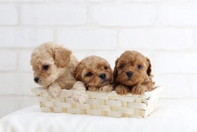 カゴに入った3匹のトイプードルの幼犬
