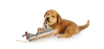 スニーカーの紐を噛む子犬