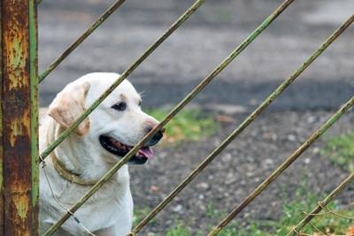 フェンス越しに見つめている犬