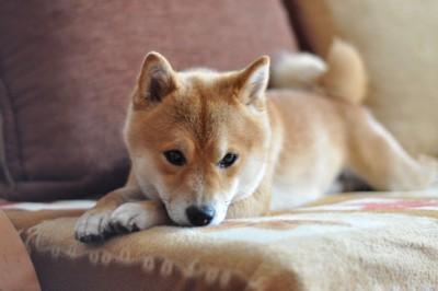 ソファーに伏せる柴犬