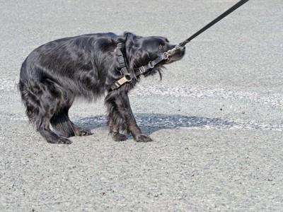 散歩中に踏ん張って立ち止まる犬