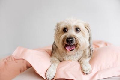 ピンクのお布団、長毛で垂れ耳の犬