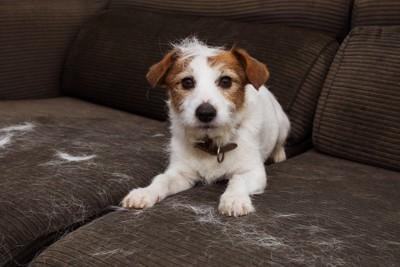 抜け毛だらけのソファーと犬